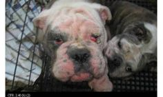 Iowa shutters Pratt puppy mill, but what took so long. Debra Pratt racked up increasing violations over the years before her dogs were auctioned in April and she was fined last month. Why is the law on the side of bad puppy mills.