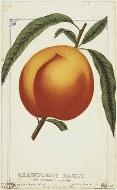 Crawford's Early - (peach), lithograph Museum of Fine Arts, Boston.