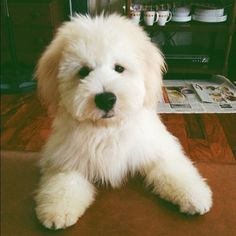 """teddy bear"" dog"