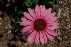 The History of Echinacea
