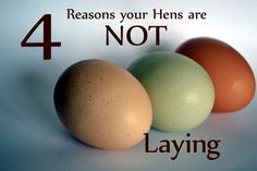 Oh No! Not getting eggs? Here are 4 reasons why. *House.Barn.Farm.*