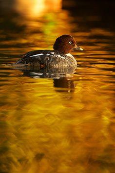 ~~Common goldeneye duck by generalstussner~~