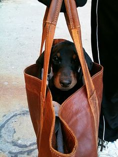Purse doxie