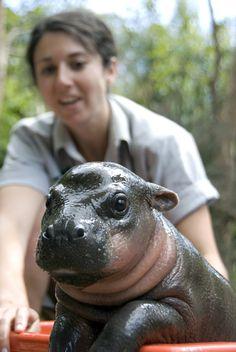 babi hippo, animals, australia, tub, ador anim
