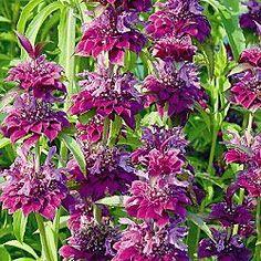 Bergamo Bee Balm plant, edible flowers, bee balm
