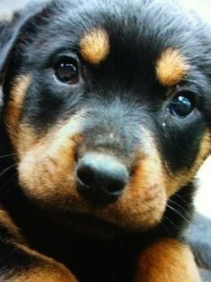 Rottweiler Puppy #Cute