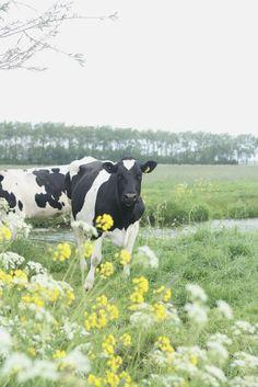 cow  so cute