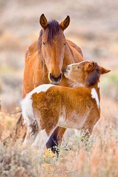 wild mustang horse stallion round up