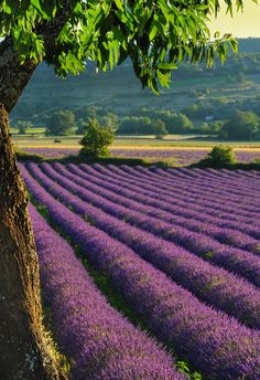 rows and rows of lavender...