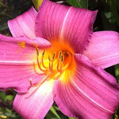 2nd Lilly this season... Pink!!!!!