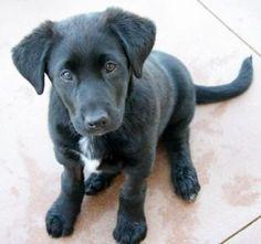 Border collie lab mix puppy also know as a borador :)