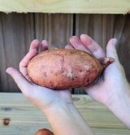 Sweet potato harvest...easy to grow,  cool blog on how to grow them