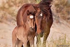 Wild horses in Corolla on the Outer Banks of NC. Photo by Dan Waters Photography.