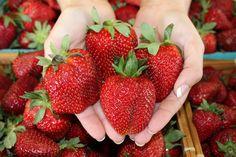 Gross Farms - NC Strawberry Season  1606 Pickett Road   Sanford, NC  27332  www.grossfarms.com