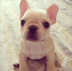 French Bulldog puppy - adorable!  IF I ever get a dog for inside, and that's a big IF, this is the type dog I have always said I would get.  The are very expensive, hence, another reason I don't have one...