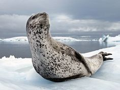 Leopard Seal, Antarctic Peninsula  Photograph by Paul Nicklen, National Geographic    An adult leopard seal scans its surroundings on the Antarctic Peninsula.