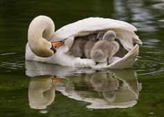 Checking on the Cygnets | Content in a Cottage