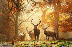 Taken by Alex Saberi, at Richmond Park. forests, animals, wood, nature, autumn, elk, photography, deer, alex o'loughlin