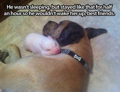 funny-little-pig-sleep-dog