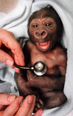 Yakini, a newborn baby gorilla, gets a checkup from Royal Children's Hospital neonatal specialist Neil Campbell at the Melbourne Zoo in Australia on Nov. 30, 1999, and is suprised by the cold stethoscope.      Facebook          Twitter            StumbleUpon          Email          Latest galleries      Most Popular        LAS VEGAS, NV - JANUARY 21: Adult film actress Alexis Texas arrives at the 29th annual Adult Video News Awards Show at the Hard Rock Hotel & Casino January 21,