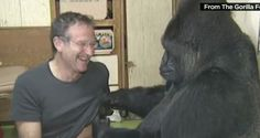Famous ape that befriended Robin Williams learns of actor's passing