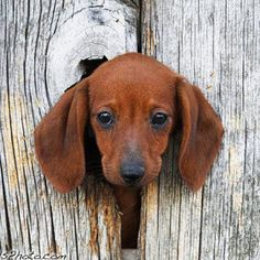 "Peek-a-boo. Member of the ""hole in the wall gang."" puppies, anim, dogs, doxi, wiener dog, dachshund, ears, fences, ador"