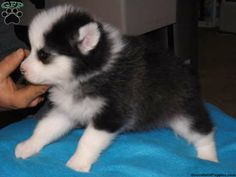 """Leo the """"Pomsky"""" puppy up for sale in Dundee, OH. i want a Pomeranian- Husky puppy. It stays small. So adorable!!!"""