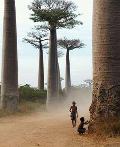 baobab, photograph, dream, tree trunks, trees, travel, africa, place, madagascar