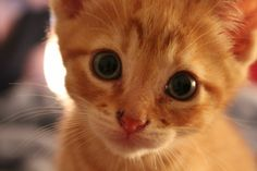 I have a special part of my heart for orange kittens! <3