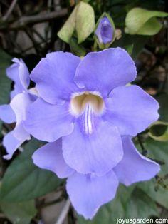 Sky Flower.  Thunbergia grandiflora.