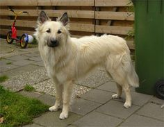 Discolored Dutch Shepherd Dog - colour not recognised More