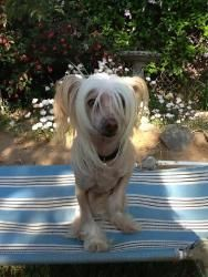 Phoebe is an adoptable Chinese Crested Dog Dog in Fresno, CA. You can fill out an adoption application online on our official website. Phoebe is a sweet loving girl. she gets along well with my other ...