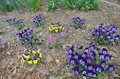 Different color violas