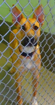 #OHIO #URGENT #GassingShelter ~ Lucy is a Spayed / Housetrained 3yo Shepherd mix surrendered because she chews things. She's a good dog that needs some basic obedience, is available today & in need of a loving #adopter / #rescue at MEDINA COUNTY ANIMAL SHELTER 6334 Deerview Lane  #Medina OH 44256 dogscats@frontier.com Ph 330-725-9121