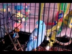 Quebert the Parrotlet talking! This is my parrotlet