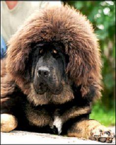 tibetan mastiff....whoa