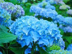 Summer Garden Blue Hydrangea by  © Baslee Troutman, via fineartamerica.com