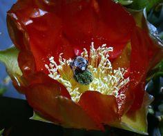 Lindheimer's Prickly-pear-Desert Botanical Garden
