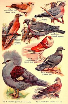 Biodiversity Heritage Library: From Billions to None: The Story of the Passenger Pigeon