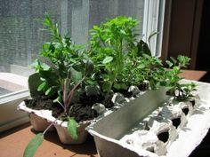 herb garden, garden start, seed starter, egg cartons, carton garden, herbs garden