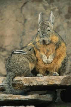 A Herbivorous Viscacha and Her Baby