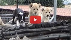 3 Cute Lion Cubs play with a Boston Terrier Puppy! Watch! ► http://www.bterrier.com/?p=26002