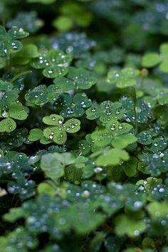 ireland, four leaf clover, leav, irish, morning dew, dew drops, rain drops, water droplets, shades of green