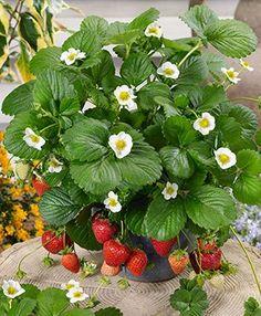 Loran Strawberry