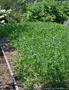 Cover crops aren't relegated to large-scale farms. They can help add nutrients to the soil in your backyard garden, too | Hobby Farms small scale farming, smallscal garden, bay, weed, garden soil, cover crop, backyard gardens