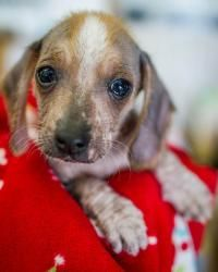 Eve is an adoptable Chinese Crested Dog Dog in Winston Salem, NC. My name is Eve and I am a female Chinese Crested/Beagle mix.