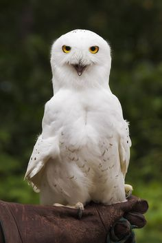 Source: Flickr / dougbrown47  #snowy owl