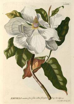 Magnolia. Georgius Dionysius Ehret  (1750)