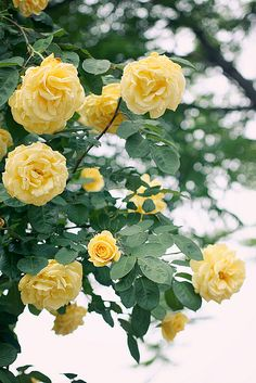 Love climbing roses!