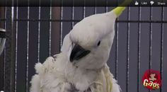 Talking Parrot Flies Into Ceiling Fan!  Talking Einstein parrot escapes the his cage  and flies right into the ceiling fan… at least that's what the victims think just happened! The good news for them is that the parrot used is a classically trained professional actor and a pro at pranking.